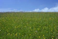 夏天草地早熟禾和野花 库存图片