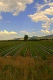 夏天草莓犁沟领域 免版税图库摄影