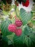 夏天莓 图库摄影