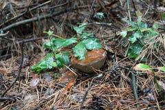 夏天蘑菇 免版税库存照片