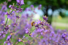 夏天蜜蜂 免版税库存图片