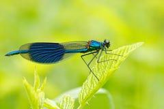 夏天蜻蜓被结合的闺女, Calopteryx splendens 蜻蜓的宏观图片在事假的 在自然的蓝色蜻蜓 d 库存图片