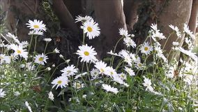 夏天轻轻地吹在微风的草甸雏菊