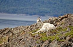 夏天野绵羊 库存图片