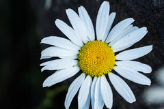 夏天雏菊在奥林匹克国家公园 库存图片