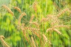 夏天雨和麦子小尖峰 库存图片