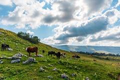 夏天风景在有吃草在绿色山的母牛的阿尔卑斯吃草 免版税图库摄影