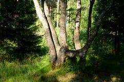 夏天风景在森林里 免版税库存照片