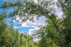 夏天风景在莫斯科附近的混杂的森林里 免版税库存图片