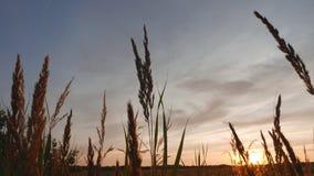 夏天麦子日落 库存照片