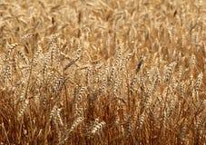 夏天麦子 库存照片