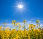 夏天黄色强奸领域 免版税库存照片