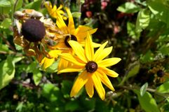 夏天黄色flowers…在城市公园 开花自然 库存照片