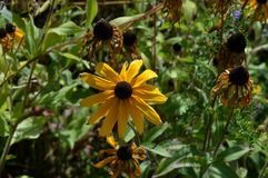 夏天黄色flowers…在城市公园 开花自然 免版税图库摄影