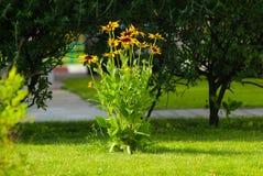 夏天,与黄色花花圃的美好的背景  生长在绿草的公园的大丁草 图库摄影