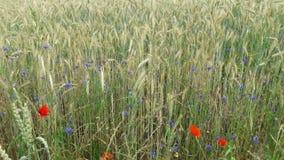 夏天 域绿色麦子 蓝色花和红色鸦片 股票视频