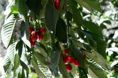 夏天 樱桃红甜点 从系列`暗藏的樱桃` 果树园 库存照片