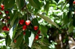 夏天 樱桃红甜点 从系列`暗藏的樱桃` 果树园 库存图片