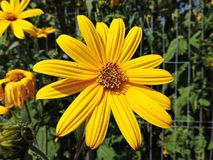夏天黄色花 库存图片