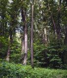 夏天Forrest 免版税图库摄影