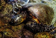夏威夷乌龟 免版税库存图片