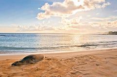 夏威夷修士封印基于海滩在日落在考艾岛,夏威夷 免版税库存照片
