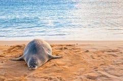 夏威夷修士封印基于海滩在日落在考艾岛,夏威夷 免版税库存图片