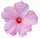 夏威夷木槿查出的桃红色白色 免版税图库摄影