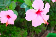 夏威夷木槿花 免版税库存照片