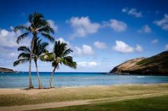 夏威夷棕榈 库存图片