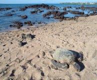 夏威夷绿浪乌龟(honu,海龟属mydas) 免版税库存图片
