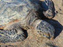 夏威夷绿浪乌龟(honu,海龟属mydas) 库存图片