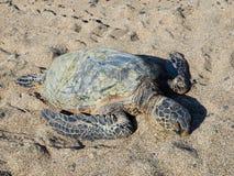 夏威夷绿浪乌龟(honu,海龟属mydas) 免版税库存照片