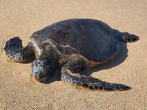 夏威夷绿浪乌龟(honu,海龟属mydas) 免版税图库摄影