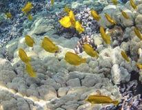 夏威夷鱼 库存照片