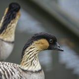 夏威夷鹅nene黑雁sandvicensis鸟可爱的画象  免版税库存图片