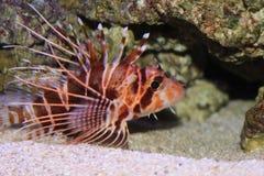 夏威夷Turkeyfish 库存图片