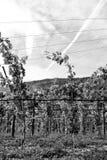 夏敦埃白酒葡萄 免版税图库摄影