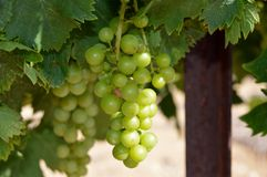 夏敦埃白酒葡萄 库存照片