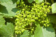 夏敦埃白酒葡萄 库存图片