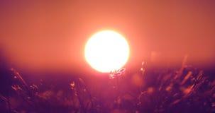 夏日、红色天空和白色太阳,在站立在太阳前面的草的细节,颜色密度的早日出在紫色混合了, 免版税库存照片