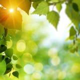 夏日在有桦树枝杈的森林里 库存照片