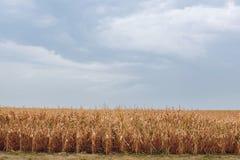 夏日突出农业领域,在整洁的行增长,高,成熟,黄色,甜玉米 免版税库存照片