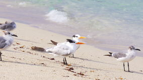 夏日迈阿密海滩放松4k佛罗里达美国的海洋海鸥 股票视频