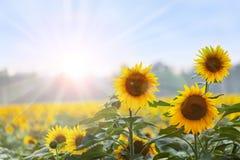 夏时:三个向日葵在黎明 免版税库存图片