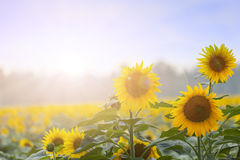 夏时:三个向日葵在黎明 免版税图库摄影