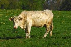 夏洛来牛母牛 免版税库存图片