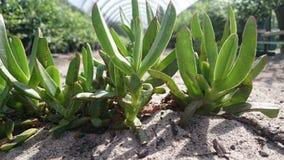 夏令时多汁植物在蓝莓农场 免版税图库摄影