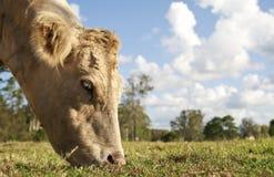 夏洛来牛威胁吃草 图库摄影