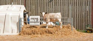 夏洛来牛牛 免版税库存照片